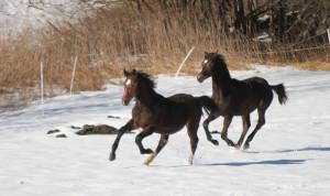Full fart i snøen anført av Vivaldi med Kaspian hakk i hel.